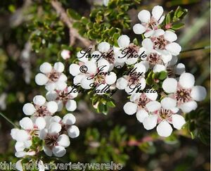 Manuka tea leptospermum scoparium seeds compact evergreen shrub la foto se est cargando manuka tea leptospermum scoparium seeds compact evergreen shrub mightylinksfo Image collections