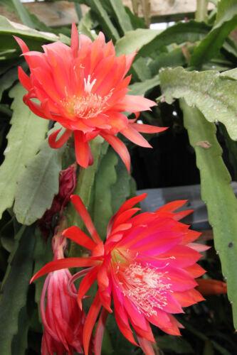 "Epiphyllum Blattkakteen Epicactus /""Moon Glow/"" Jungpflanzen"