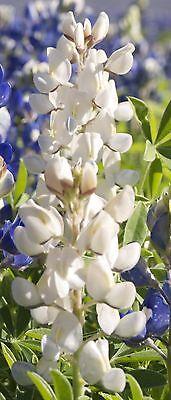 20 Samen Blau-Weiße Gartenlupine Lupine Staude Lupinen mehrjährig winterhart