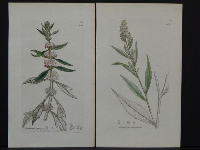 Botanicals, J. Sowerby, Copper c.1800 Plate engraving, Original Hand color g#019