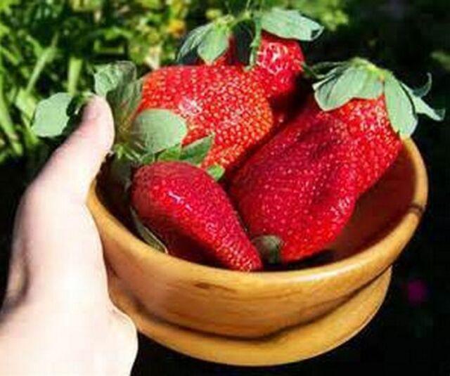 500x Giant Strawberry Seeds RARE Fragaria Ananassa Huge Fruit Organic Heirloom