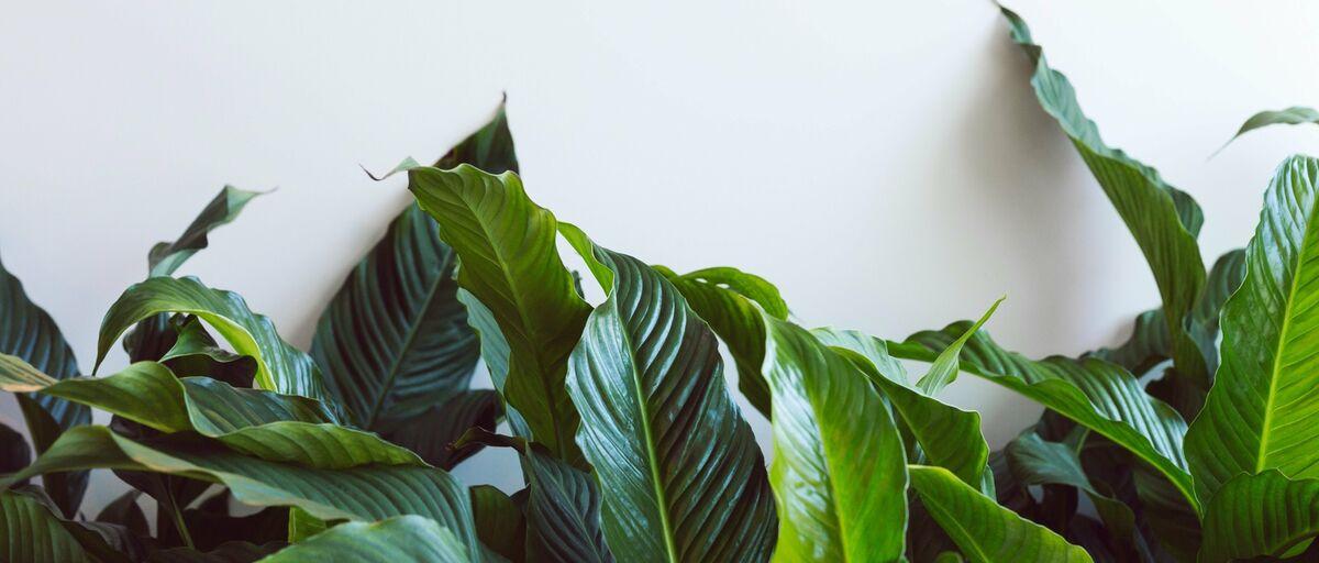 plantsdirectau