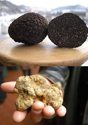 Graines champignons truffe noir séché mycélium SPAWN Substrate Russe Ukraine