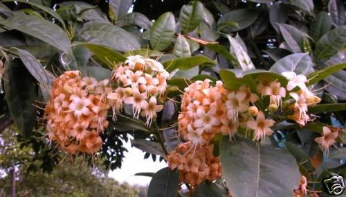 frische Samen ♣ Parfümbaum ♠ Blätter wie ein Gummibaum /& Duftblüten ♣