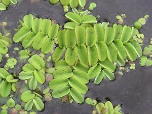 Salvinia Auriculata minima natans Flottant Fougères plantes aquatiques aquarium poisson