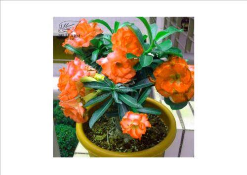 2PCS Adenium /'Duo Mijia/' Orange Double Flowers /'Seeds/' Aroma 5-Layer Big Blooms