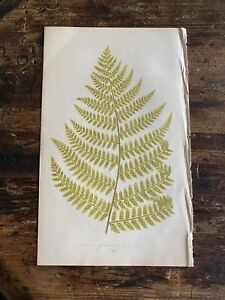 Antique Fern Print Chart 9.5x6 Edward Lowe Book Country Cottage Art Green Plants