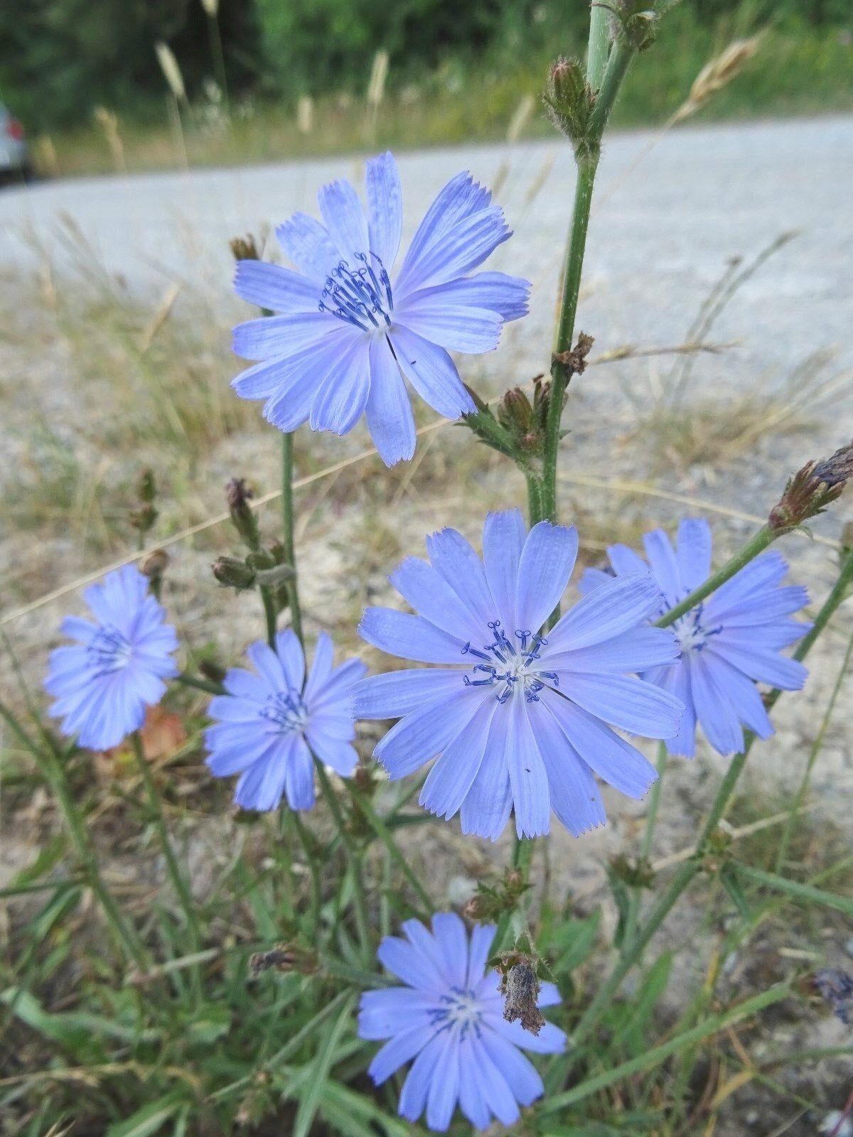 1000 Samen Gemeine Wegwarte Cichorium intybus Wildblume