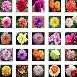 US-Seller-Rare-Beautiful-Perennial-Dahlia-Flowers-Seeds-20PCS-Mix-Color-C