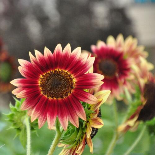 15 Samen Rot Sonnenblume Abendrot Abendsonnen  HELIANTHUS ANNUUS-Red Sun Nice