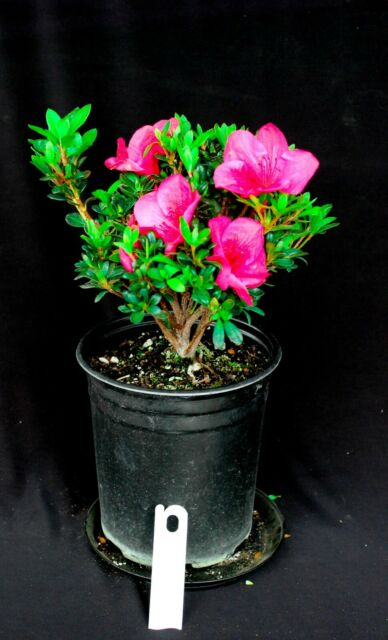 Japanese Satsuki Azalea Ruby Nugget 6 Bonsai Tree For Sale Online Ebay