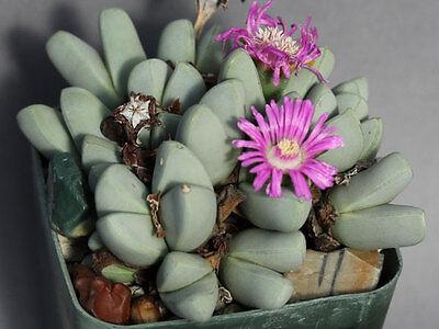 Aloinopsis Rosulata Rare Cactus Succulent Samen Semi Korn 種子 씨앗 Семена 10 SEEDS
