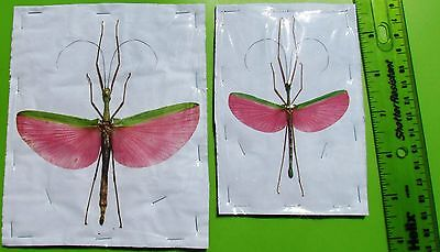 Rose Winged Flying Stick Bug Insect Marmessoidea rosea Pair FAST SHIP FROM USA
