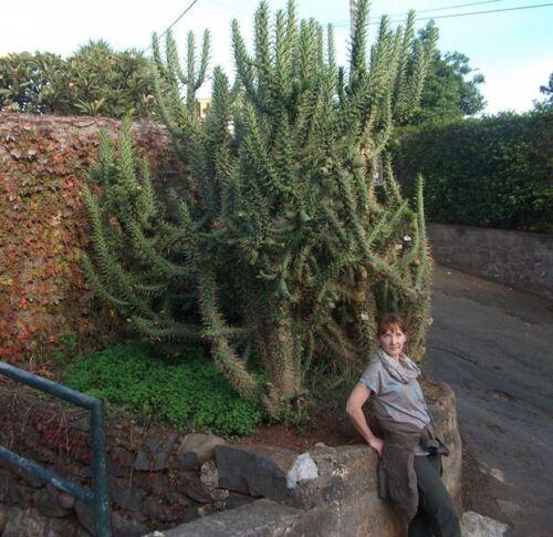 ☼ Für den exclusiven Garten Baum-Opuntien winterhart  ☼ Samen