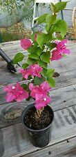 Live Plant  Fuchsia  Bougainvillea , Pre-Bonsai Trees