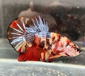 """Live Giant Betta - GIANT MULTICOLOR - USA Seller - Body Only 2"""""""
