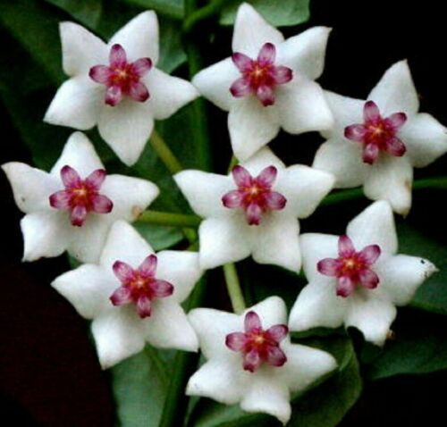 Hoya BELLA Collection No 1, fragrant flowers plant in 80mm pot