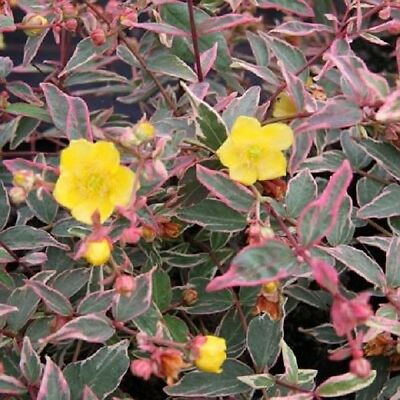 Hypericum moserianum Tricolor in 2L pot