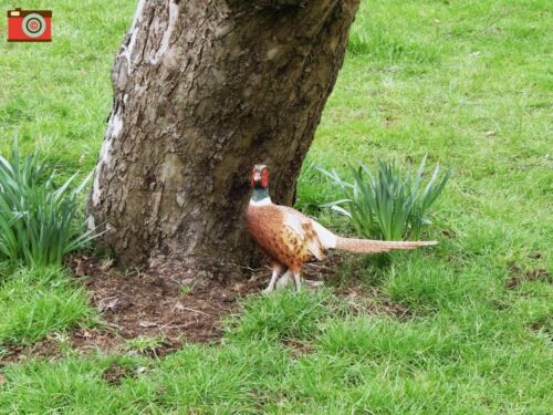 OUTDOOR//INDOOR ULTRA REALISTIC A LIFE SIZE PHEASANT. GARDEN ORNAMENT ETC.