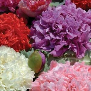Flower-Poppy-Paeony-Flowered-double-Mix-appx-2000-seeds