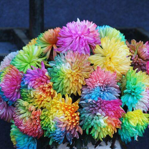 100 Pcs Rainbow Chrysanthemum Flower Seeds DIY Home Garden Plant Seed S097