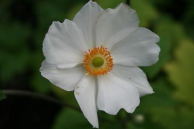 """Herbstannemone, Anemone japonica """"Honorine Jobert"""" ab1,95 Staffelpreise"""