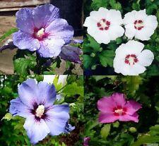 Hibisco Hibiscus syriacus 130 semillas roseneibisch invierno duro blanco rosa azul