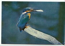 Animal Postcard - Bird - Kingfisher - [Alcedo Attis Ispida]   AB1182
