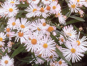 Ask Boltonia asteroides Nana Pink Beauty    250 seeds  Need More