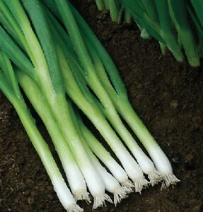 Bunching-Onion-Seeds-500-Seeds-Evergreen-Hardy-White-Onion-Green-Onion-Seeds
