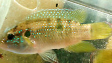 2 JEWEL CICHLIDS WILD CAUGHT EATING WELL AND GROWING FAST