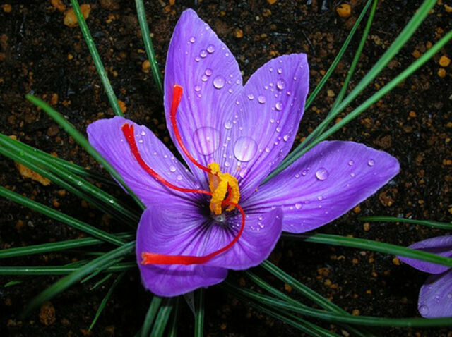 3 Saffron Crocus Sativus Corms