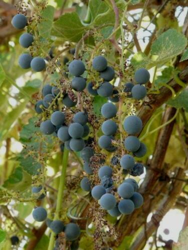 Vitis californica CALIFORNIA GRAPE Seeds!