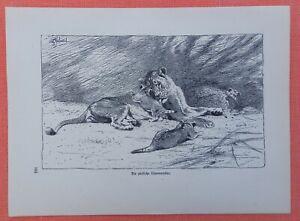Les Touching Lion Mère Panthera Leo Wilhelm Kuhnert Afrique Gravure Sur Bois 1920-afficher Le Titre D'origine Vous Garder En Forme Tout Le Temps