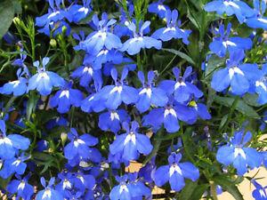 100 Lobelia Seeds Blue Lobelia Erinus Garden Flowers Ebay