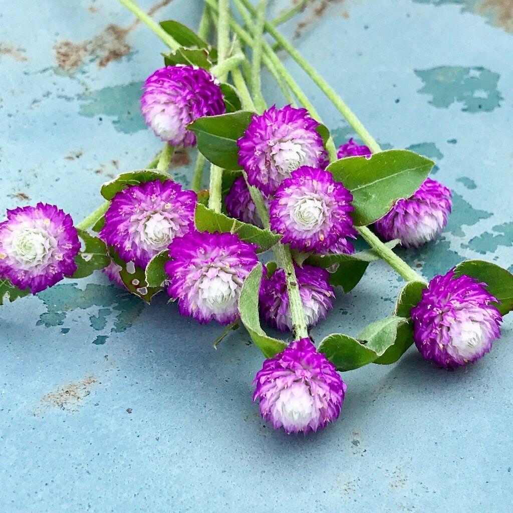 Gomphrena Audray Bicolour Rose - 25 Seeds > Globe Amaranth >Cut or Dried Flower