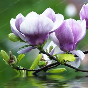 10-Pcs-Graines-Magnolia-Fleurs-Bonsai-magnifique-arbre-maison-jardin-plantes-Neuf-2018