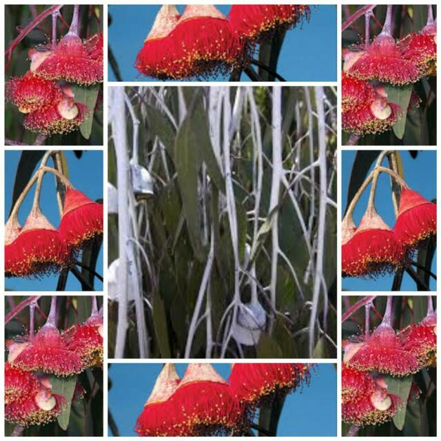 "Eucalyptus caesia weeping ""Silver Princess Native 20 seeds not for WA or TAS"