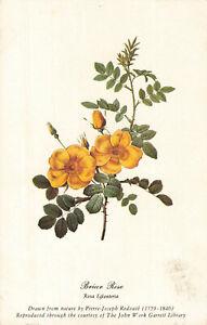 Postcard-Briar-Rose
