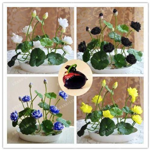 10pcs//pack Bowl Lotus Hydroponic Plants Aquatic Plants Flower Seeds Pot lotus Wa