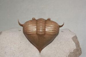 Russian-trilobite-Megistaspidella-triangularis-SCHMIDT-1906-fossil-Russia