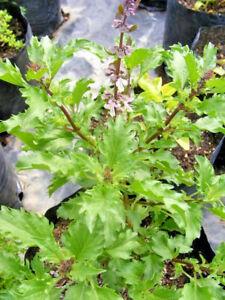 'mrihani' Basil, Ocimum Basilicum, 20+ Seeds
