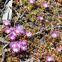 Disphyma Crassifolium - 20 Seeds - Round Leaved Pigface - New Zealand Iceplant