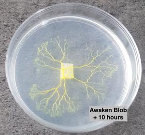 Yellow-Slime-Mold-Blob-Physarum-Polycephalum-Sclerotium-Sclerote-de-blob