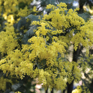 Acacia Evergreen Drought Tolerant Shrub Plant 1 In 9cm Pot Yellow