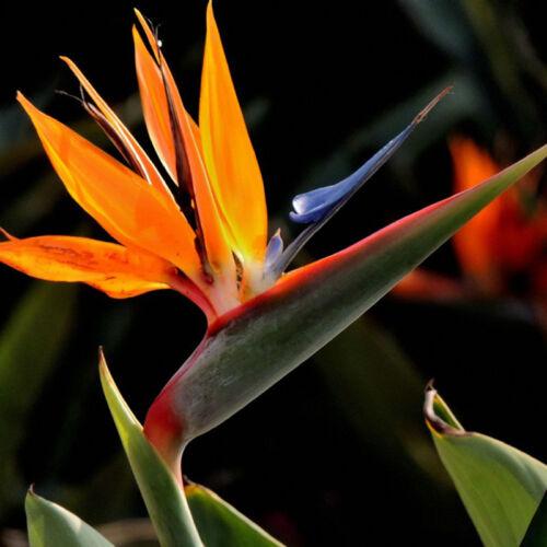 10pcs Strelitzia Flower Seeds Tropical Bird Of Paradise Mallow Seeds Gard vvmm