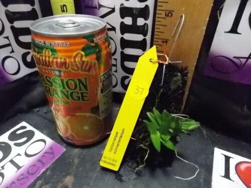 Collector/'s item BIN-Epidendrum schlecterianum Unique! Very easy to grow