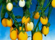 15 Easter Egg Plant Seeds Looks Like Chicken Eggs! EASY TO GROW  COMBINED S/H!