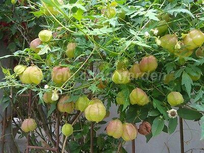 10 Seeds BALLOON VINE Cardiospermum Halicacabum