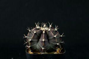 401-gymnocalycium-mihanovichii-034-Ruby-ball-034-cactus-Succulent-maybe-variegated